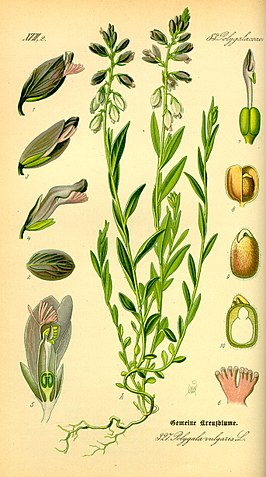 Illustration Polygala vulgaris0.jpg