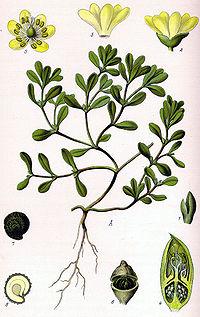 Illustration Portulaca oleracea0