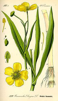 Illustration Ranunculus lingua0