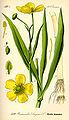Illustration Ranunculus lingua0.jpg