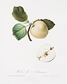 Illustration from Pomona Italiana Giorgio Gallesio by rawpixel00038.jpg
