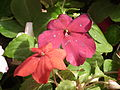 Impatiens hill balsum from lalbagh 2041.JPG