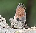Inca Dove, southern Arizona 03.jpg