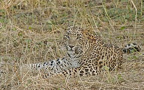 Indian Leopard at Gir 2