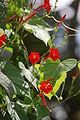 Ipomoea hederifolia03.JPG