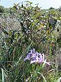 Iris & Coffeeberry (8482341383).jpg