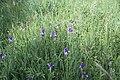 Iris sibirica in natural monument Sterbu louka in 2011 (12).JPG