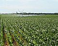 Irrigated crops in Brazos County, Texas. NRCS photo by Beverly Moseley. (24748952949).jpg