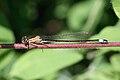 Ischnura elegans 2(loz).jpg