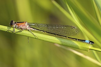 Blue-tailed damselfly - Female, form rufescens