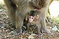 Iwatayama Monkey Park (3810514475).jpg