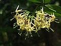 Ixora malabarica flowers at Mayyil (6).jpg