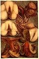 J.F. Gautier d'Agoty, Myologie complette en couleur... Wellcome L0021616.jpg