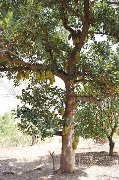 240px-Jackfruit_tree_in_Gujarat.jpg