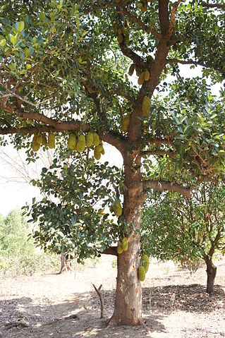 Jackfruit tree in Gujarat