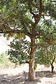 Jackfruit tree in Gujarat.jpg