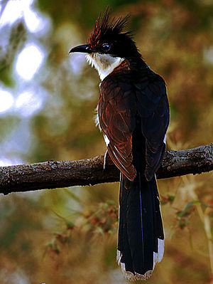 Jacobin cuckoo - Image: Jacobin Cuckoo (Clamator jacobinus) Photograph By Shantanu Kuveskar