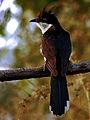 Jacobin Cuckoo (Clamator jacobinus) Photograph By Shantanu Kuveskar.jpg