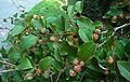 Japanese Stewartia Branch Stewartia pseudocamellia 3000px.jpg