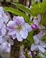 Japanese flowering cherry (13699309495).jpg