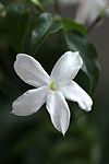 Jasminum officinale.JPG