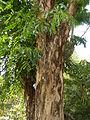 Jf9408Pterocarpus indicus Lubaofvf 07.JPG