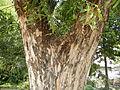 Jf9408Pterocarpus indicus Lubaofvf 19.JPG