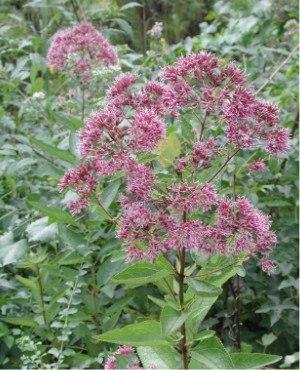 Wildlife garden - Joe-Pye weed in flower