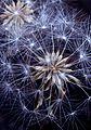 John 146--Tragopogon porrifolius (Seeds)--Cedar Mountain--June 1995 (14388383988).jpg