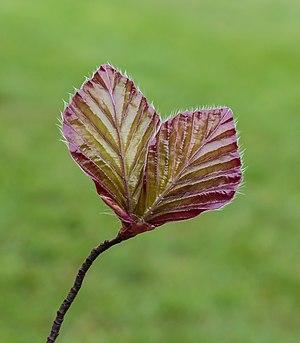 Young leaf of red beech Fagus sylvatica 'Purpurea'. De Famberhorst in the Netherlands.