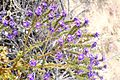 Joshua Tree National Park flowers - Phacelia crenulata - 06.JPG