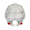 Jugular process of occipital bone - close-up01.png