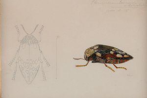 Julien Joseph Vesque - Sternocera castanea rothschildi Pochon Buprestidae