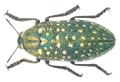 Julodis variolaris (Pallas, 1773).png