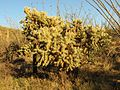 Jumping Cholla - Flickr - treegrow.jpg
