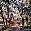 Juniperus ashei wood South Austin TX.jpg