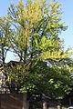 Juudapuulehikud mai 2014 134.jpg