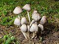 Kaldari coprinoid mushrooms.jpg
