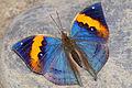 Kallima inachus formosana back 20131228.jpg