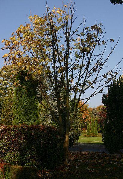 arbre jeune kalopanax
