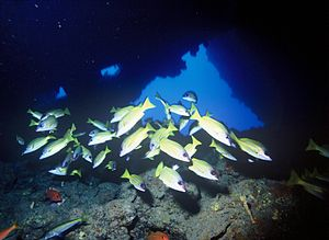 Bluestripe snapper - Bluestripe snapper occupying a cave in Hawaii