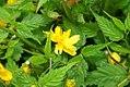 Kerria japonica Pleniflora 0zz.jpg