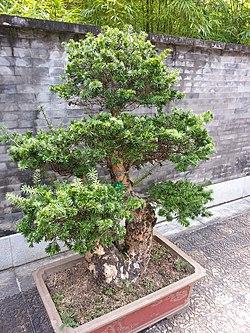 Keteleeria fortunei 油杉.jpg