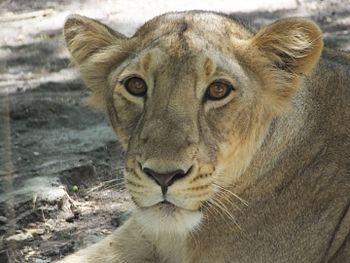 Kind Lioness.jpg