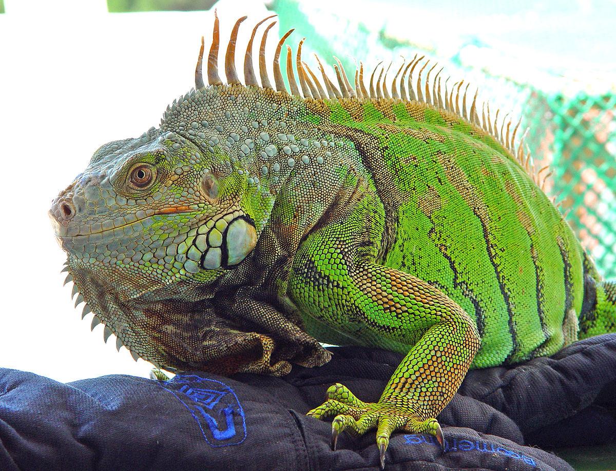 Iguana iguana - Wikipedia, la enciclopedia libre