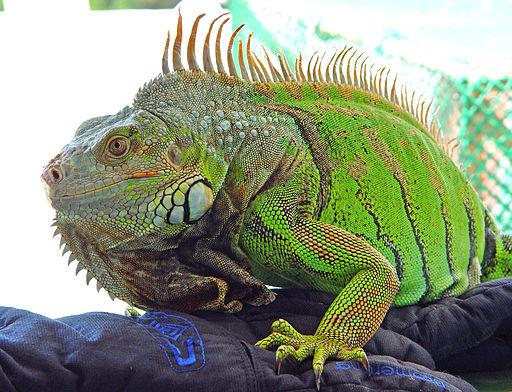 caracteres sexuales de la iguana macho