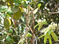 Kirimllikai (Tamil- கிரிமல்லிகை) (2428878776).jpg