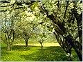 Kirschblüte - panoramio (8).jpg
