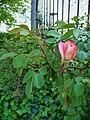Knospe rosa Strauchrose.JPG