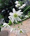 Knowltonia vesicatoria -比利時 Ghent University Botanical Garden- (9229776158).jpg